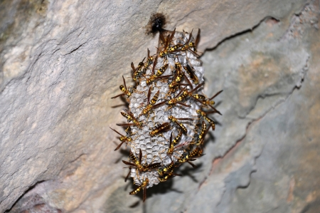 hexapod: Paper wasps building a nest on the island of Curacao in the Caribbean Stock Photo