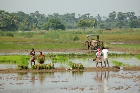 labouring: TAMIL NADU, INDIA, circa 2009: Unidentified women planting out rice paddies circa 2009 in Tamil Nadu, India