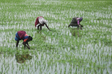 TAMIL NADU, INDIA, circa 2009: Unidentified women planting out rice paddies circa 2009 in Tamil Nadu, India