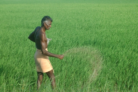 TAMIL NADU, INDIA, circa 2009: Unidentified old man spreads fertiliser in a rice paddy by hand circa 2009 in Tamil Nadu, India Editorial
