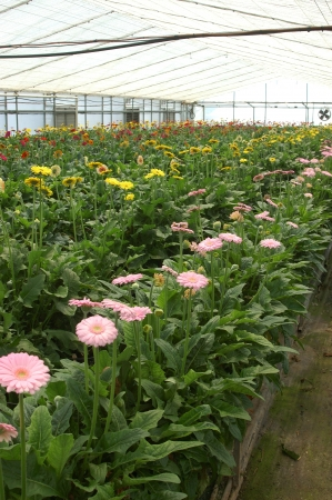 floriculture: Rows of gerberas growing in commercial hothouse