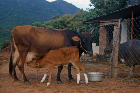 india cow: calf suckling on dairy cow, Tamil Nadu, South India