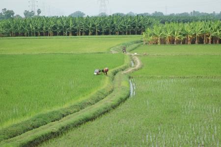 labouring: TAMIL NADU, INDIA, circa 2009  Unidentified women planting out rice paddies circa 2009 in Tamil Nadu, India