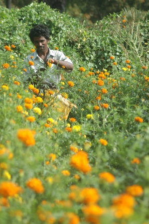 floriculture: TAMIL NADU, INDIA, circa 2009: Unidentified man harvests a crop of marigold flowers, Tagetes patula, circa 2009 in Tamil Nadu, India Editorial