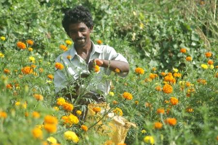 harvests: TAMIL NADU, INDIA, circa 2009: Unidentified man harvests a crop of marigold flowers, Tagetes patula, circa 2009 in Tamil Nadu, India Editorial