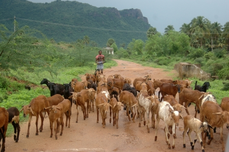 TAMIL NADU, INDIA, circa 2009: Unidentified man herds goats on common village ground, circa 2009 in Tamil Nadu, India. Much of Indias economy still relies on traditional customs.