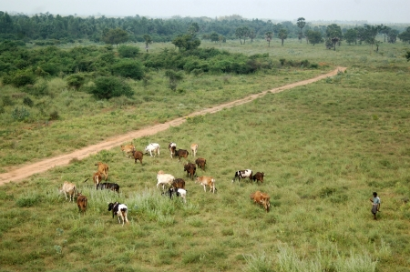 relies: TAMIL NADU, INDIA, circa 2009: Unidentified man herds cattle on common village ground, circa 2009 in Tamil Nadu, India. Much of Indias economy still relies on traditional customs.