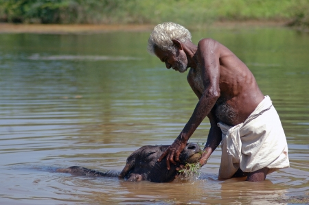 relies: TAMIL NADU, INDIA, circa 2009: Unidentified man washes his buffalo calf, circa 2009 in Tamil Nadu, India. Much of Indias economy still relies on traditional customs.