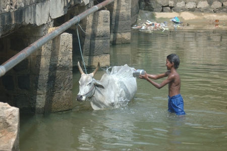 TAMIL NADU, INDIA, circa 2009: Unidentified boy washes a Brahmin cow in the village stream, circa 2009 in Tamil Nadu, India. Much of India's economy still relies on traditional customs. Stock Photo - 20390278