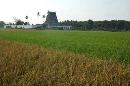 idolatry: Rice paddy near Cheranmahadevi in Tamil Nadu, South India