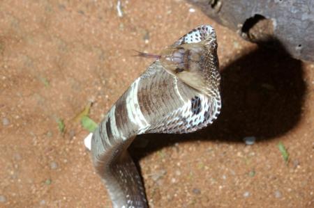 reptillian: Grumpy Indian Cobra, Naja naja, Tamil Nadu, South India