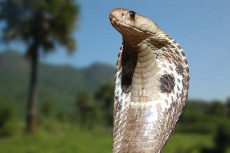 King Cobra, Naja naja, met uitlopende kap overziet zijn gebied in de staat Tamil Nadu, Zuid-India