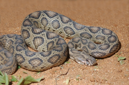 Adult Russell's Viper, Daboia russelii, Tamil Nadu, South India Stock Photo