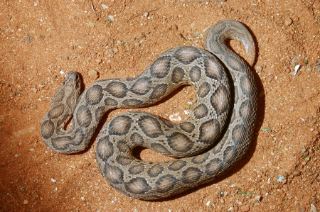 cold blooded: Adult Russells Viper, Daboia russelii, Tamil Nadu, South India