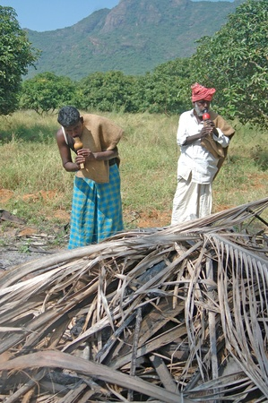 TIRUNELVELI, TAMIL NADU, INDIA,  FEBRUARY 28, 2009: Indian men blow whistles to attract snakes hiding in pile of coconut leaves on February 28, 2009 in Tamil Nadu, South India.