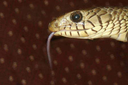headshots: Portrait of Oriental Ratsnake, Ptyas mucosus, Tamil Nadu, South India