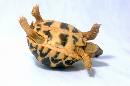coldblooded: Indian Starred Tortoise, Geochelone elegans, Tamil Nadu, South India