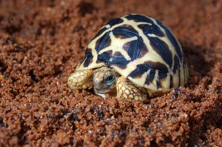 Indian Starred Tortoise, Geochelone elegans, Tamil Nadu, South India
