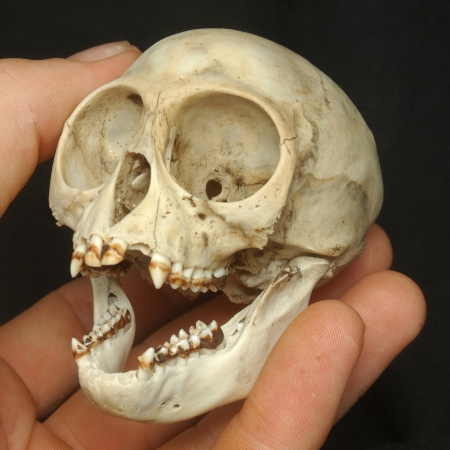 skull of Nilgiri langur (Trachypithecus johnii) from South India photo