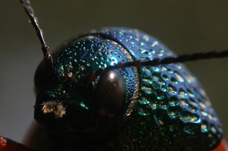 possibly: Portrait of a jewel beetle from family Buprestidae, possibly Sternocera nitens or S. Brahmina, from Tamil Nadu, South India Stock Photo