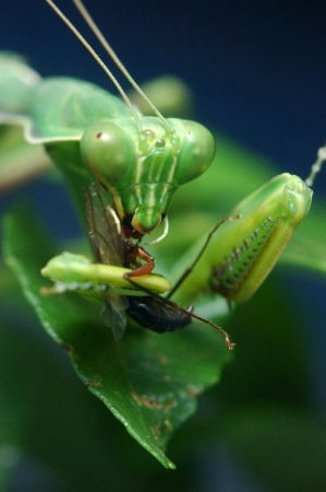 south india: Spotted praying mantis eating another insect in Tamil Nadu, South India