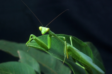 enlarged: Giant Indian Praying mantis, probably Hierodula membranacea or Hierodula grandis, on leaves in Tamil Nadu, South India, (sometimes known as Giant Asian Mantis)