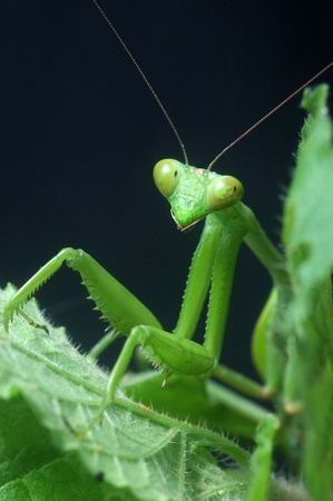 Giant Indian Praying mantis, probably Hierodula membranacea or Hierodula grandis, on leaves in Tamil Nadu, South India, (sometimes known as Giant Asian Mantis) photo