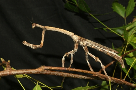 wingless: Brown stick insect from Tamil Nadu, South India