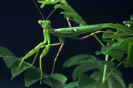 omnivores: Spotted praying mantis, on leaves in Tamil Nadu, South India Stock Photo