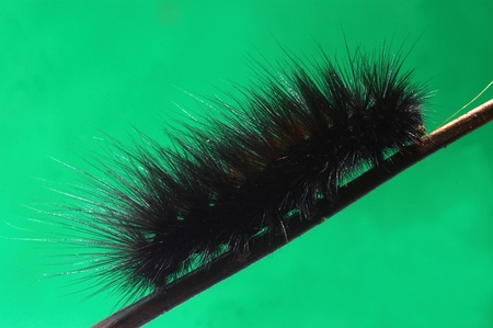 tamil nadu: hairy caterpillar from Tamil Nadu, South India.