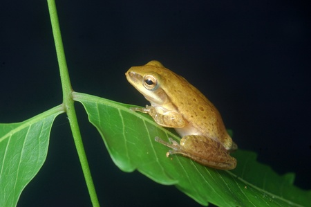 insectivores: small tree frog from Tamil Nadu, South India. Stock Photo