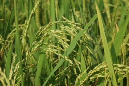 labouring: Head of rice growing near Cheranmahadevi in Tamil Nadu, South India