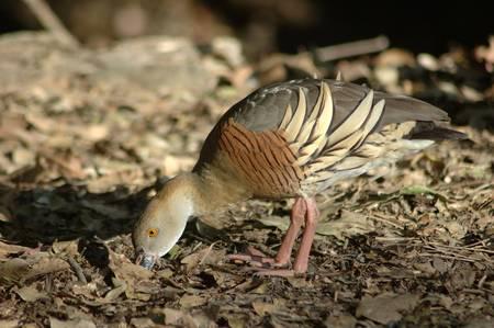 waterbird: Grass whistling duck, Dendrocygna eytoni, looking for food, Queensland, Australia Stock Photo