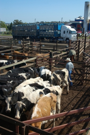 australian beef cow: TOOWOOMBA, AUSTRALIA, circa 2009: Man organises cattle in pens for transport after auctioning, circa 2009,  Toowoomba, Queensland, Australia.