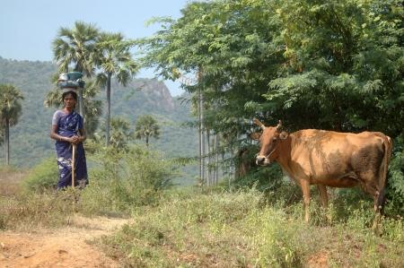 india cow: TIRUNELVELI, TAMIL NADU, INDIA, circa 2009: Unidentified woman tends her cow on common village land, Tamil Nadu, South India, circa 2009, Tirunelveli, Tamil Nadu, South India
