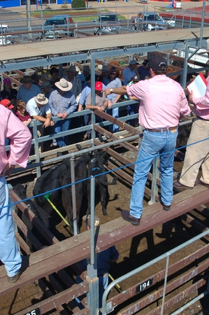 toowoomba: TOOWOOMBA, AUSTRALIA, circa 2009: Auctioneer calls out prices for beef cattle at saleyards,circa 2009,  Toowoomba, Queensland, Australia.