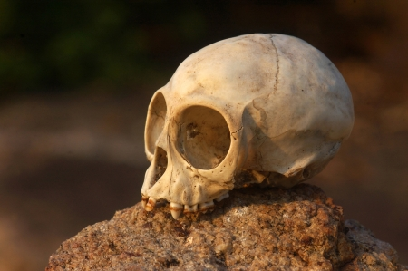 skull of the primate, Nilgiri langur  Trachypithecus johnii  from South India Stock Photo - 22568280