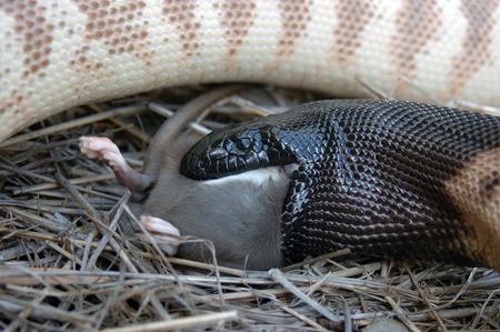 Australian black headed python, Aspidites melanocephalus, swallowing a black rat, Rattus rattus