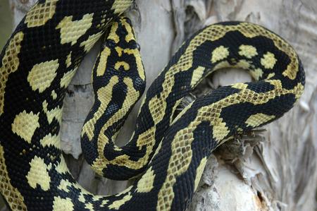 reptillian: Brightly coloured Jungle Python, Morelia spilota cheynei