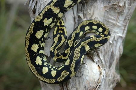 reptillian: Brightly coloured Jungle Python, Morelia spilota cheynei Stock Photo