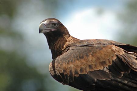 wedgetailed: Immature Australian wedge-tailed eagle, Aquila audax