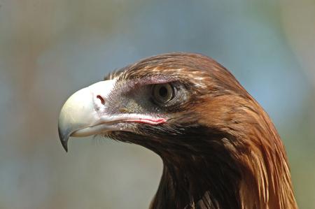 wedgetailed: Portrait of immature Australian wedge-tailed eagle, Aquila audax