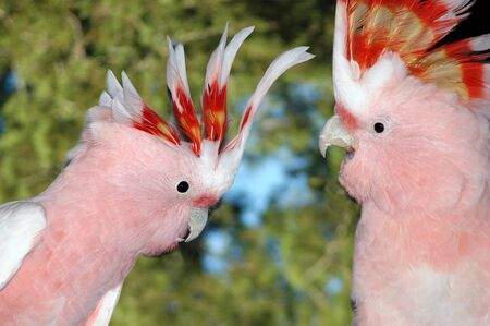 cockatoos: Pair of Major Mitchells Cockatoos, Cacatua leadbeateri, Australia Stock Photo