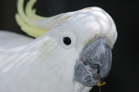 Portrait of Australian sulphur-crested cockatoo, Cacatua galerita photo