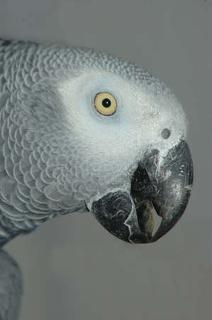 Portrait of African Grey Parrot, Psittacus erithacus, on grey background photo