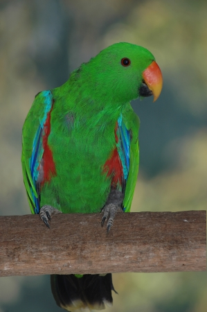 eclectus: female Australian red-sided parrot, Eclectus roratus Stock Photo