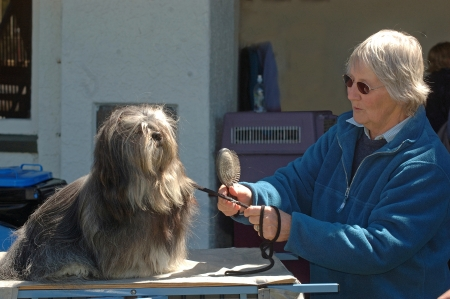 judging: GREYMOUTH, NEW ZEALAND, OCTOBER 17, 2007: Unidentified handler grooms her dog before judging at a dog show on October 17, 2007 in Greymouth, New Zealand