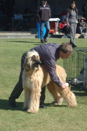 GREYMOUTH, NEW ZEALAND, OCTOBER 17, 2007: Unidentified handler grooms his afghan hound before judging at a dog show on October 17, 2007 in Greymouth, New Zealand