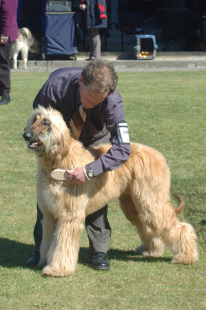 GREYMOUTH, NEW ZEALAND, OCTOBER 17, 2007, Handler grooms his afghan hound before judging at a dog show on October 17, 2007 in Greymouth, New Zealand