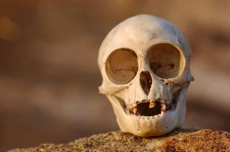 skull of Nilgiri langur (Trachypithecus johnii) from South India Stock Photo